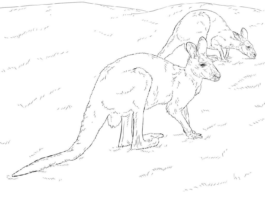 Australian Kangaroo Coloring Page