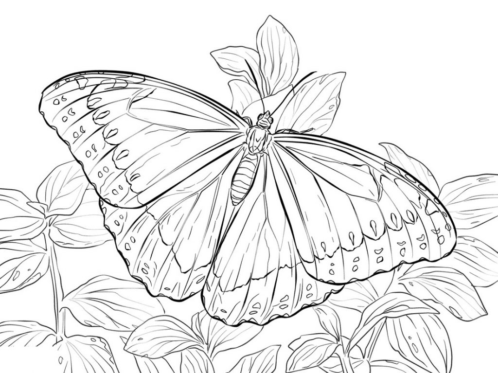 Butterfly Coloring Pages Realistic