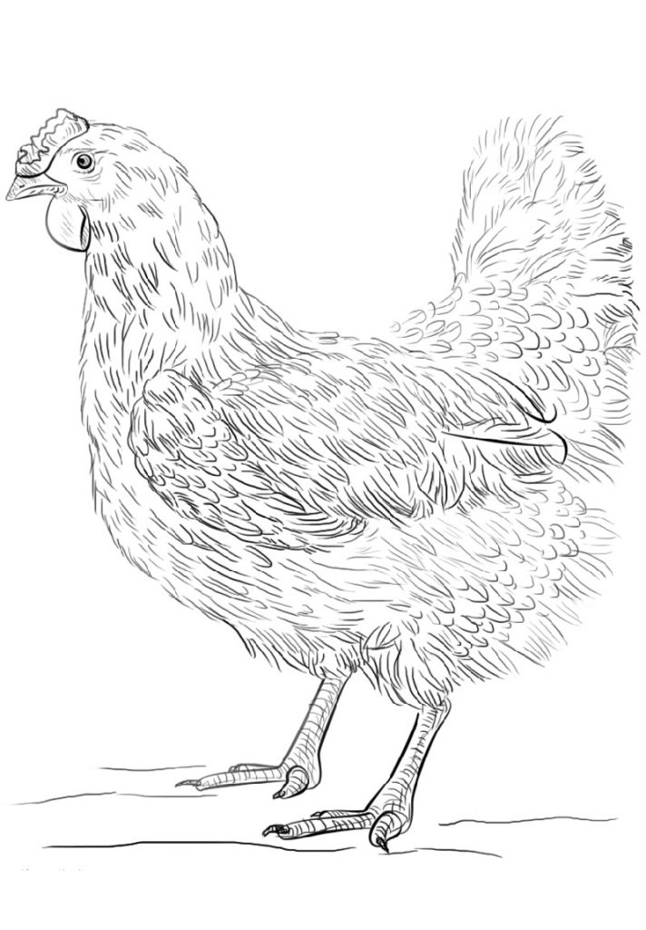 Chicken Coloring Pages Free