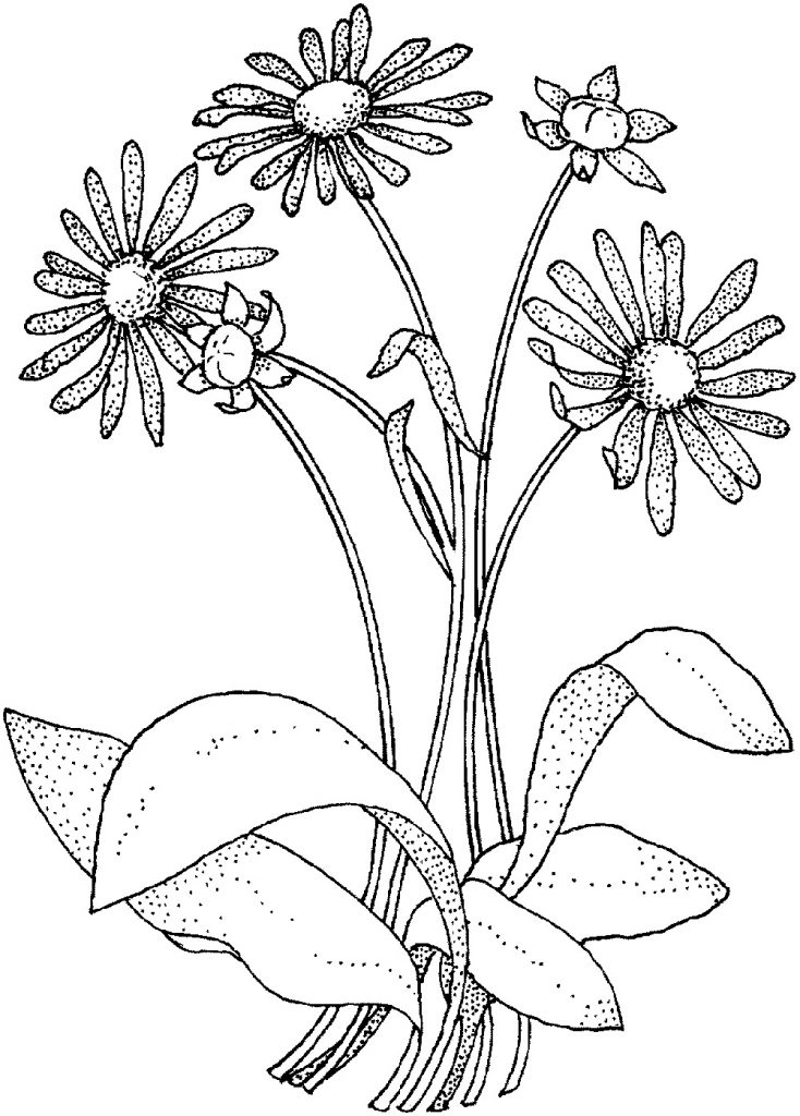 Daisy Flower Coloring