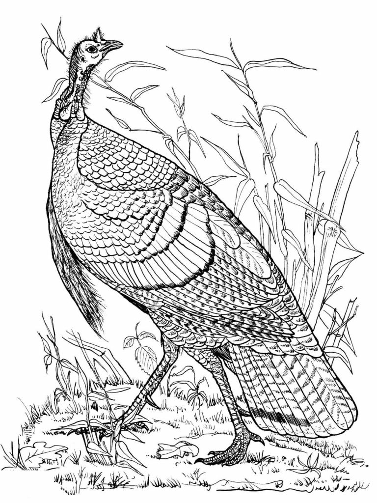 Turkey Coloring Pages Realistic