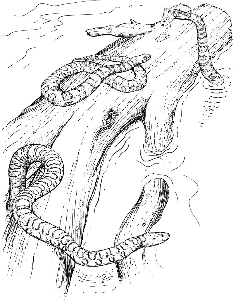 Water Snake Coloring Pages